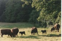 Devon Red Cows and Calves
